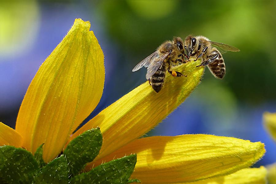 Two+honeybees+meet+on+a+dandelion+petal.+Bees+such+as+those+featured+above+are+crucial+for+flower%2C+fruit%2C+and+crop+pollination+nationwide.