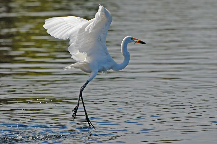 Egrets+such+as+the+one+seen+above+made+a+temporary+home+in+Celebration+Park%2C+forcing+a+temporary+closure+of+the+wooded+area.