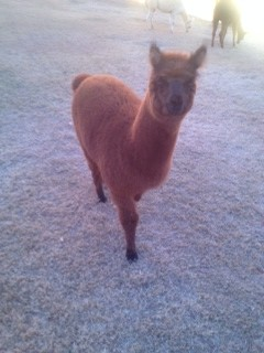 Many students have strayed from popular pets like a dog or cat, and instead have alpacas or peacocks.