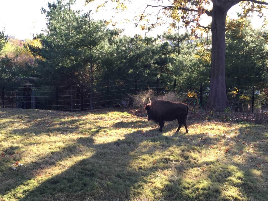 125 years later zoo visitors can see American Bison again just like when the zoo was first created.  Bison were hunted to near extinction in the 19th century.