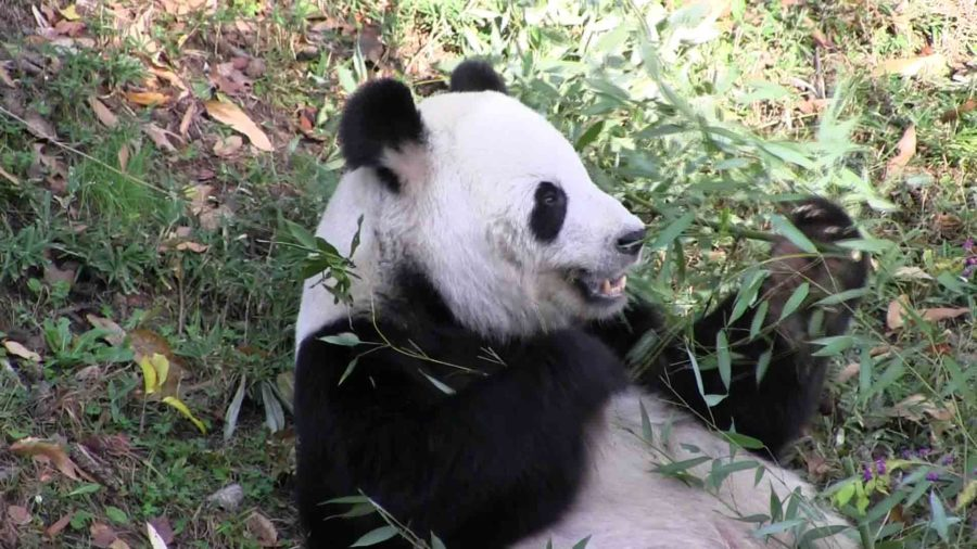 The National Zoo has two Giant Pandas on loan from China.  Here Tian Tian is snacking on some bamboo leaves.
