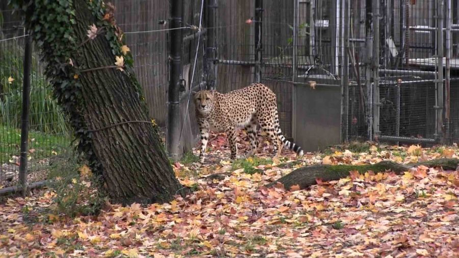 The National Zoo is home to six cheetahs.  Other cheetahs can be found at the Zoos Front Royal, Virginia, campus.