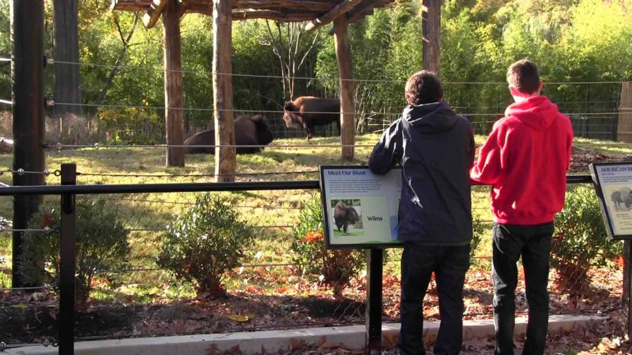 Zoo-goers+admire+the+American+Bison+in+the+National+Zoological+Park.++These+bison+are+a+part+of+the+special+125th+anniversary+of+the+Zoo.
