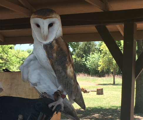 Celebrating its 10 year anniversary this year, local Blackland Prairie Raptor Center protects birds of prey such as Willie the barn owl, pictured above.
