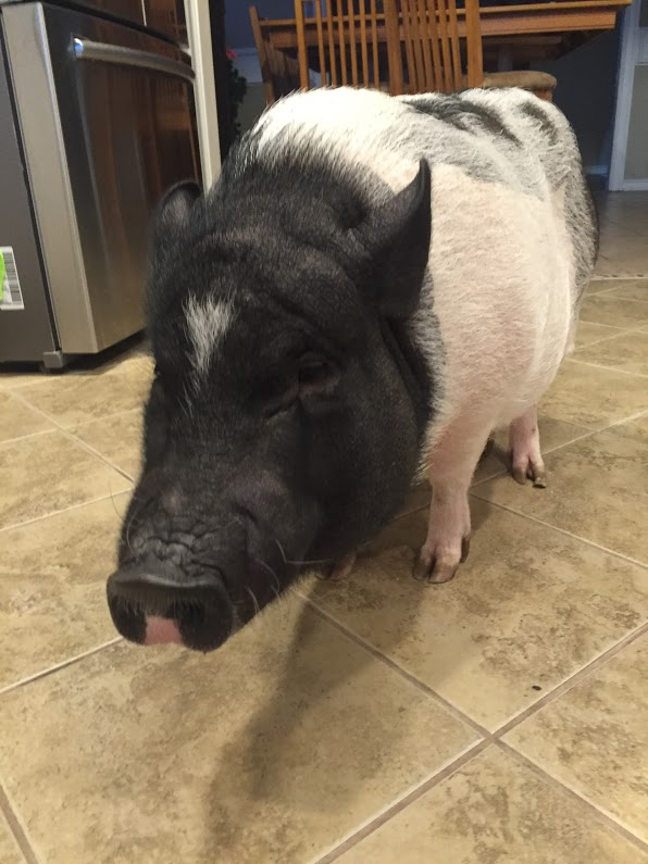 The Schubert family, like many other families in the district, share their home with beloved pets. However, the Schuberts have a pet pig, as opposed to the usual dog or cat, going by the name of Bella.