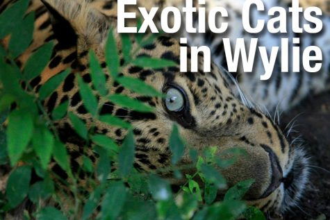 Video: Exotic cats in Wylie