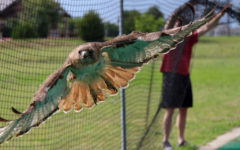 Photo essay: Trapped raptor