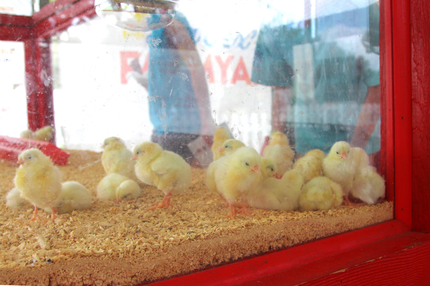 Baby+chicks+attracted+many+kids+who+wandered+into+the+children%27s+farm+area.