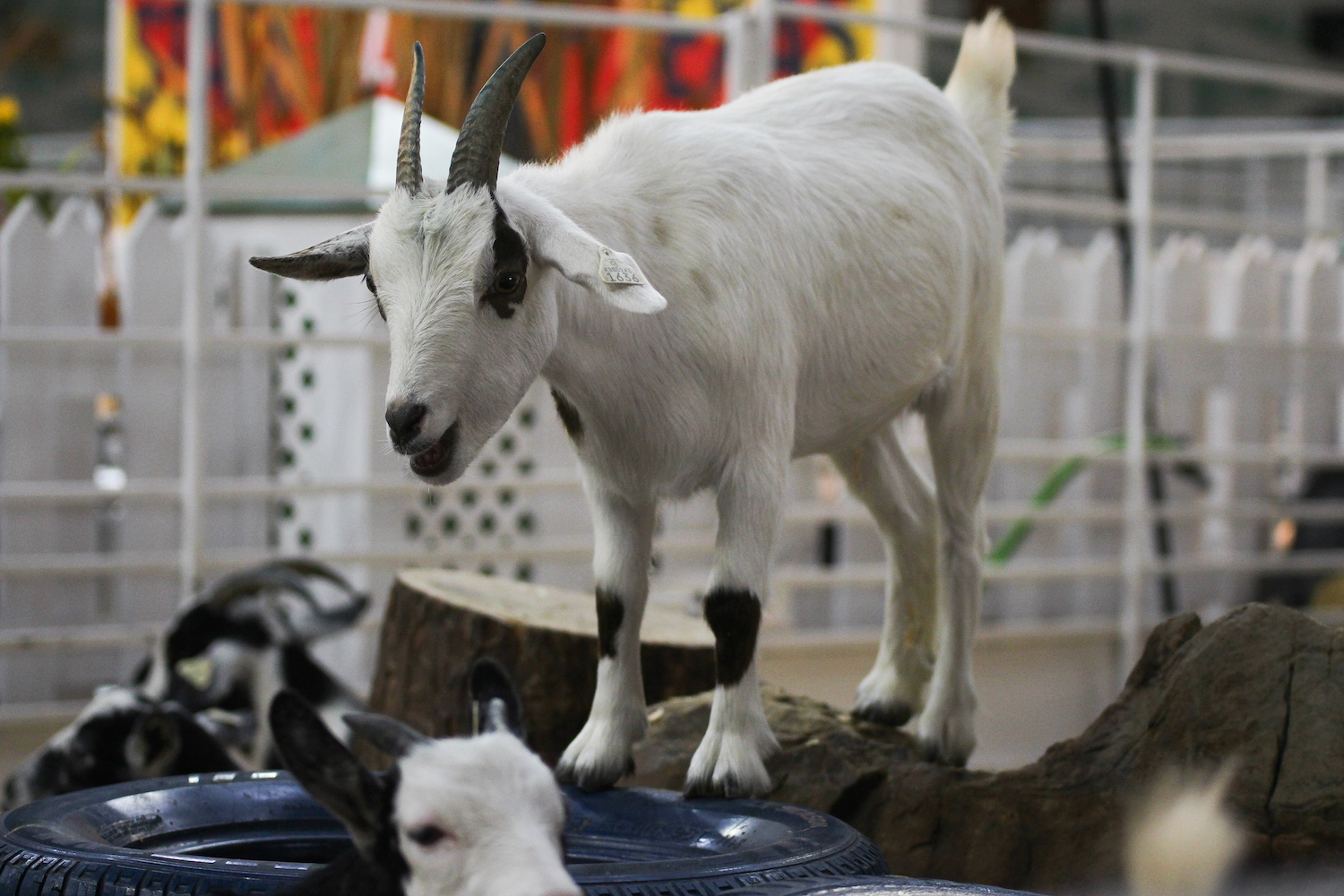 A+goat+stands+atop+a+tire+in+the+goat+enclosure.+