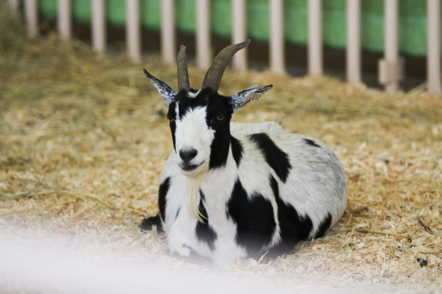 Goats were a feature at the petting zoo with multiple goat enclosures.